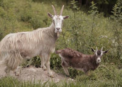 animali-valsugana-coronata-haus